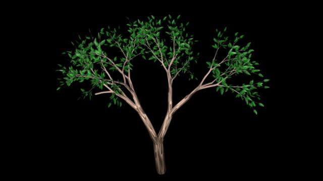 Tree Leafy + Alpha video