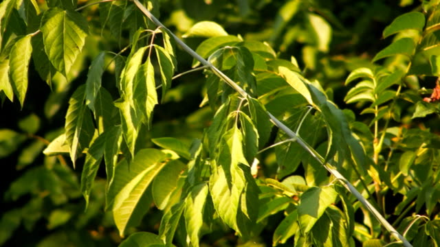 HD: Tree Leaves video