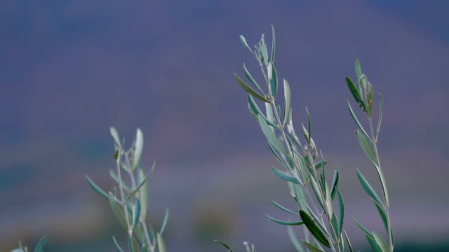 tree of olive: particular on branches video