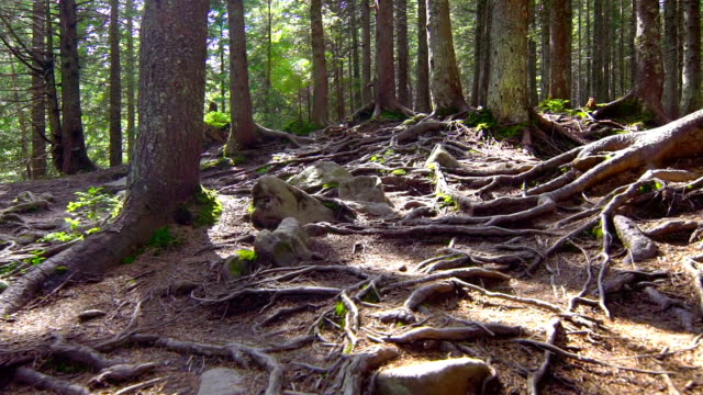 Tree Roots in a Beautiful Pine Forest video