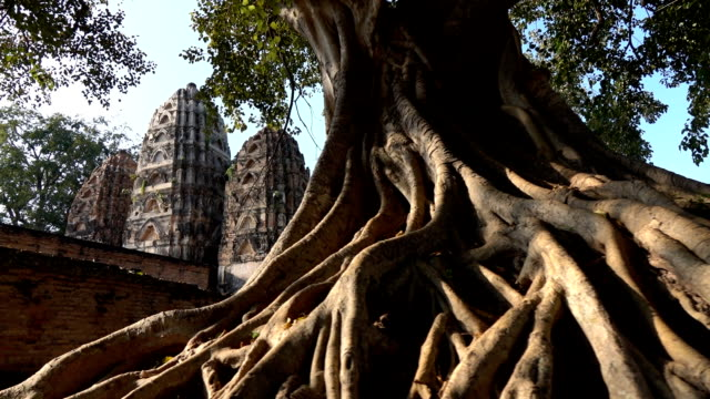 Tree roots in Sukhothai historical park with temple background, Thailand