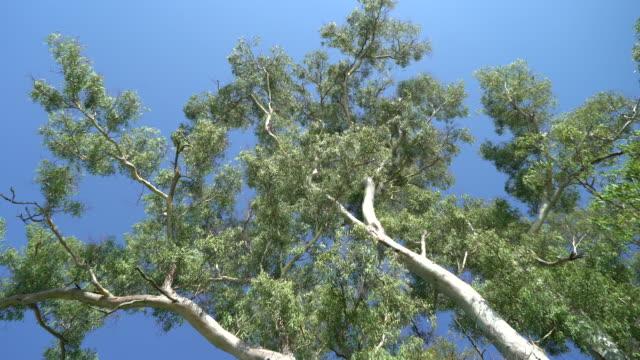 tree sky - eucalyptus leaves bildbanksvideor och videomaterial från bakom kulisserna