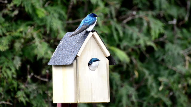 Tree Swallows Nest video