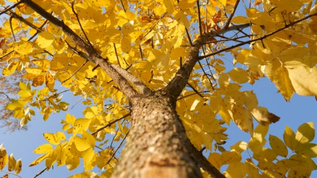 Tree trunk with yellow leaf on the sky background. Shot of treetops in autumn. video