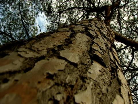 albero  - pinacee video stock e b–roll