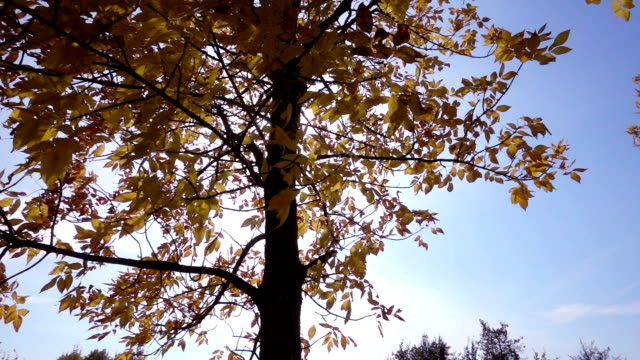 Tree with golden leaves against sun and blue sky, slow motion video