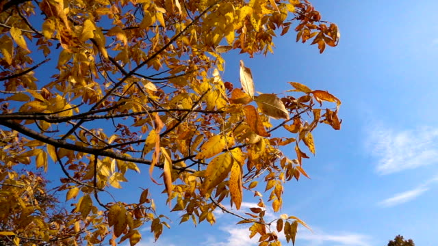 Tree with golden leaves moving against blue sky video