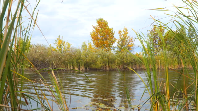 A tree with yellow autumn leaves on the shore of a small lake video