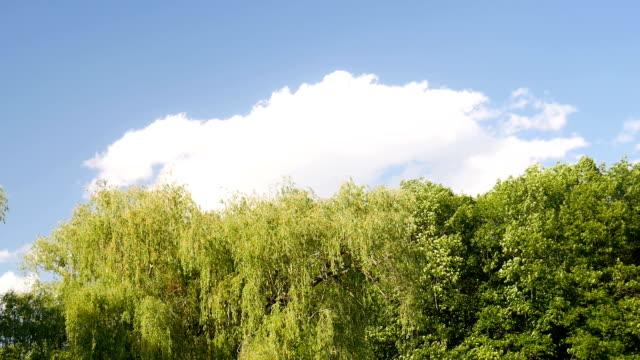 Bäume gegen den Himmel. – Video
