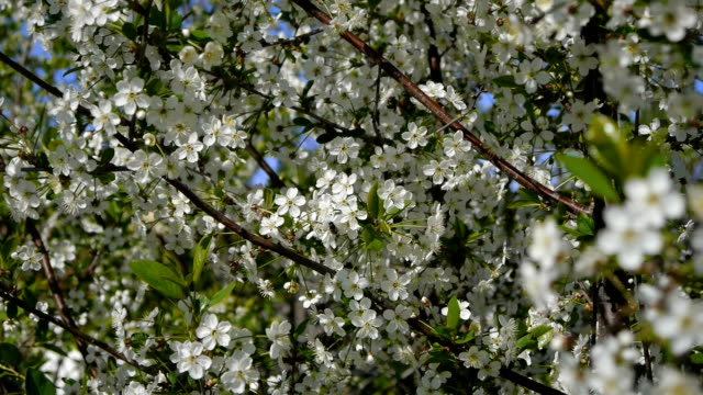 träd som blommar i trädgården biet flyger klar himmel natur våren sommaren vackra blommor djur bee pollinerande träd blommor frukt trädgård - pollinering bildbanksvideor och videomaterial från bakom kulisserna