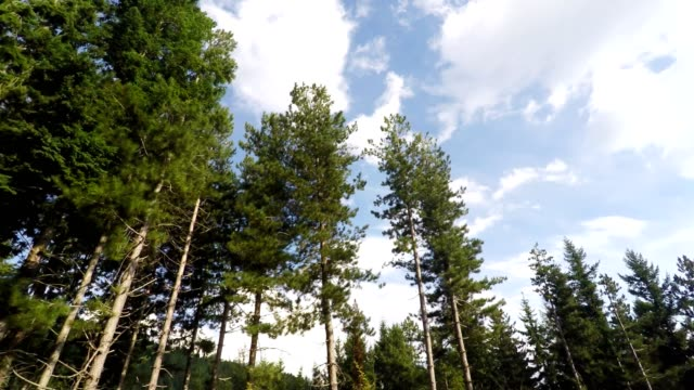 Trees, Forest, Real Time video