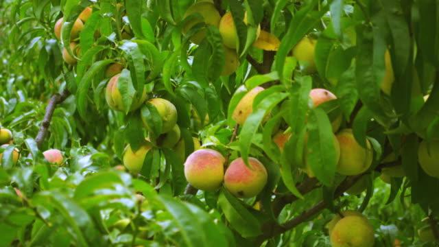 trees full of ready to pluck, juicy peaches in orchard. - brzoskwinia drzewo owocowe filmów i materiałów b-roll