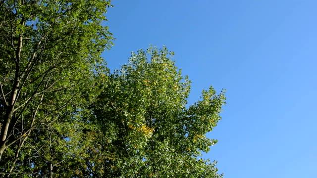 bäume im herbst auf einem hintergrund des blauen himmels. - ahorn stock-videos und b-roll-filmmaterial