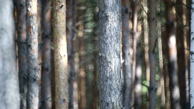 träden i skogen - pine forest sweden bildbanksvideor och videomaterial från bakom kulisserna