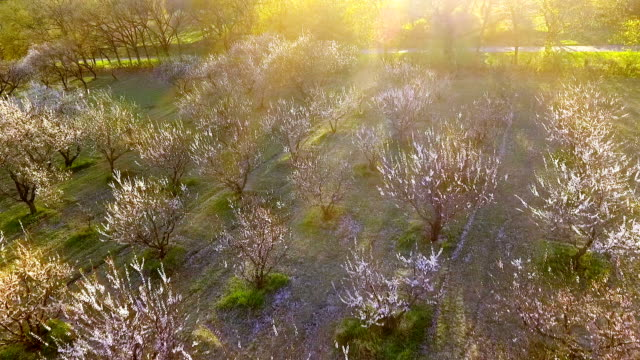 trees in springtime. sunshine light. flying. aerial view. video