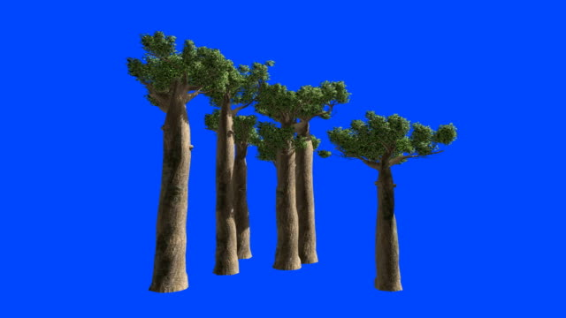 vidéos et rushes de arbres de baobab à madagascar sur le vent. alpha de l'écran bleu. - arbre tropical