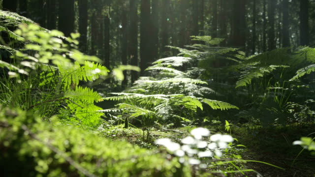 Video SLOW MOTION: Trees, roots and moss in the sunny woods