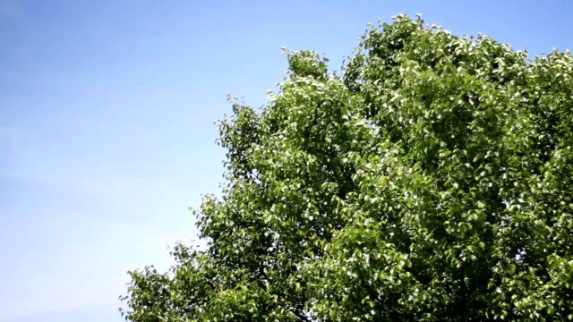 treetop blowing in the wind on summer day against blue sky backdrop - joseph kelly stock videos and b-roll footage