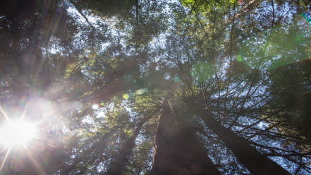 Treetops at Giant Redwood Forest video