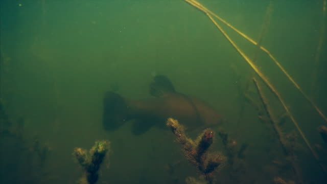 Trench fish (Tinca tinca) swims in the pond