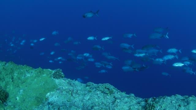 vídeos y material grabado en eventos de stock de jack de jurel pescado de enseñanza en alta mar, palau - zona pelágica
