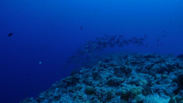 trevally 傑克魚在深海上學 - 深的 個影片檔及 b 捲影像