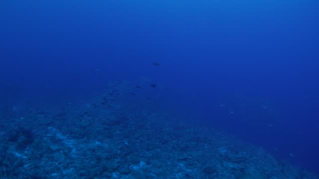 Trevally jackfish and barracuda schooling in reef video