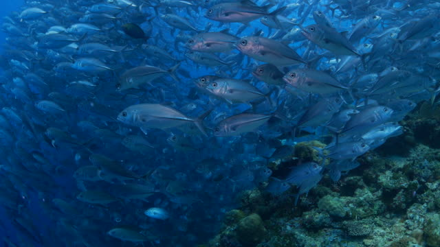 Trevally (Jackfish, Gin-Ga-Me-A-Ji) schooling in the line (4K) video