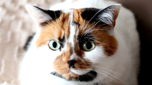 Tricolor cat gives a wink Tricolor spotted calico cat face close up. The cat turns to the camera and closes one eye for a sec like giving a wink. tortoise shell stock videos & royalty-free footage