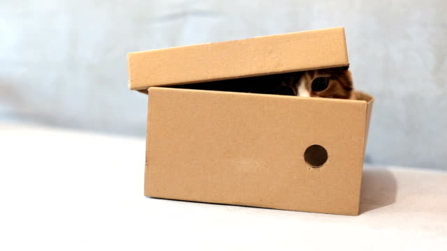 Tricolor cat sits in a cardboard box - vídeo