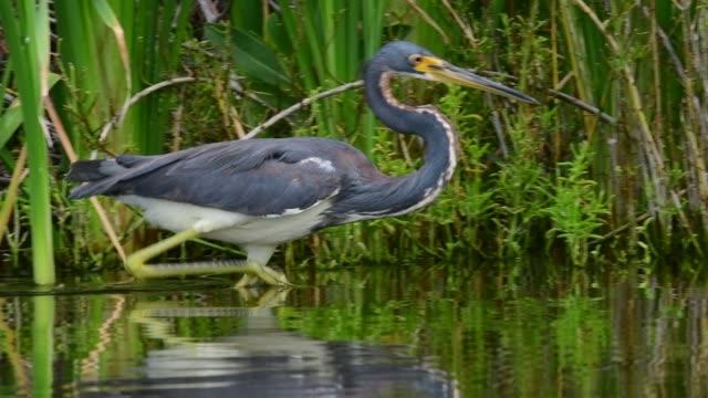vídeos de stock, filmes e b-roll de pesca tricolored da garça-real na lagoa. câmera lenta. - américa do norte