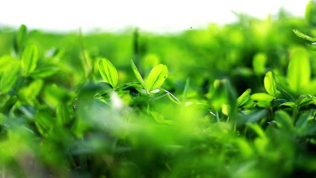 Trifolium Field