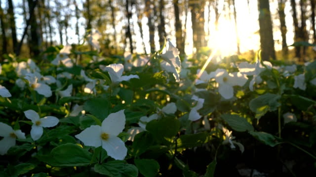 trillium bed in the morning - триллиум стоковые видео и кадры b-roll