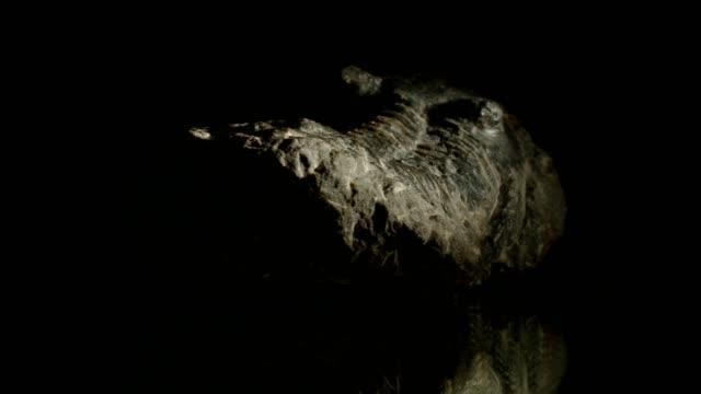 stockvideo's en b-roll-footage met trilobiet draaien op zwart - dierlijk bot