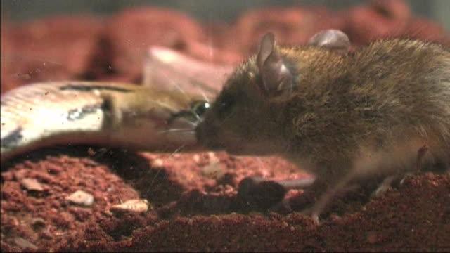 Trinket snake hunts mouse video
