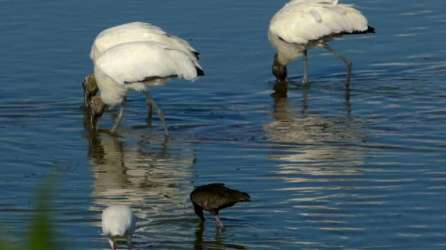 Trio of Wood Storks Feeding in Blue Water