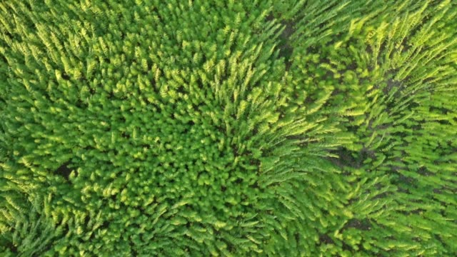 Trippy aerial view of beautiful marijuana CBD hemp field affected by wind