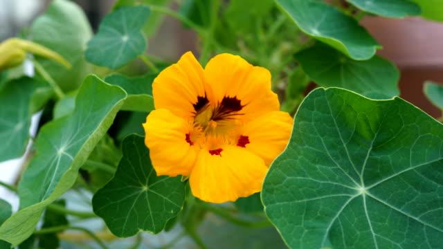 Tropaeolum majus - Nasturtium - blossom in backlit - video