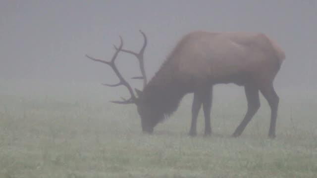 trophy-klasse bull river elk - großwild stock-videos und b-roll-filmmaterial