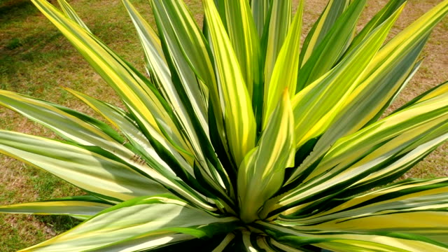 Tropical agave plant video