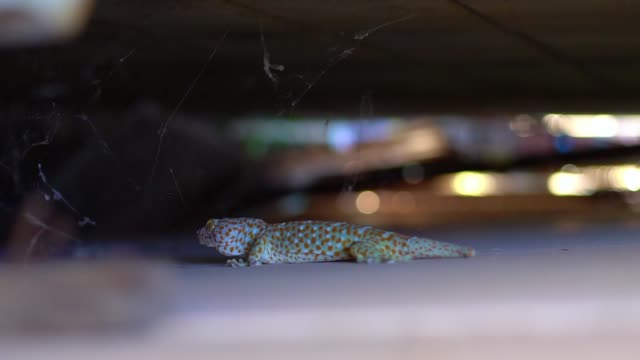 Tropical Asian Gecko or Calling Gecko is a true gecko species, it's big reptile moving on the wall. Detail of Asian common house gecko. Selective focus and Free copy space. Tropical Asian Gecko or Calling Gecko is a true gecko species, it's big reptile moving on the wall. Detail of Asian common house gecko. Selective focus and Free copy space. gecko stock videos & royalty-free footage