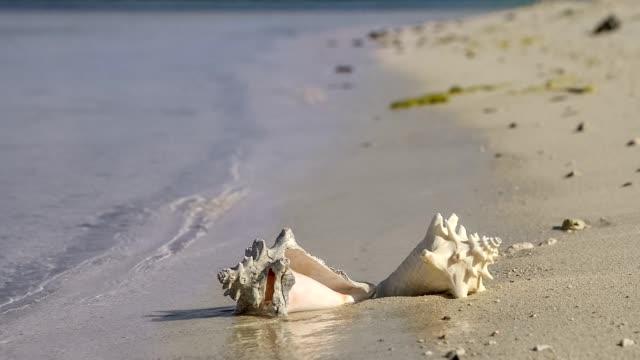 vidéos et rushes de plage tropicale conch shell, lever du soleil et océan vagues - coquillage