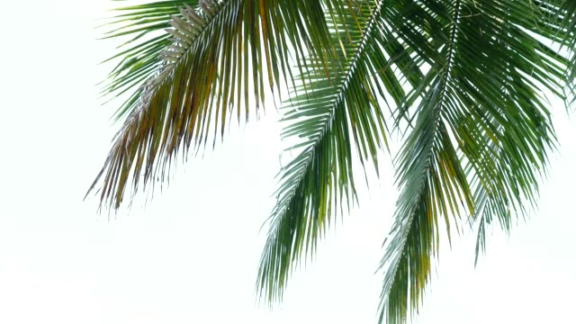 tropical beach palm coconut leaves on white background. - albero tropicale video stock e b–roll