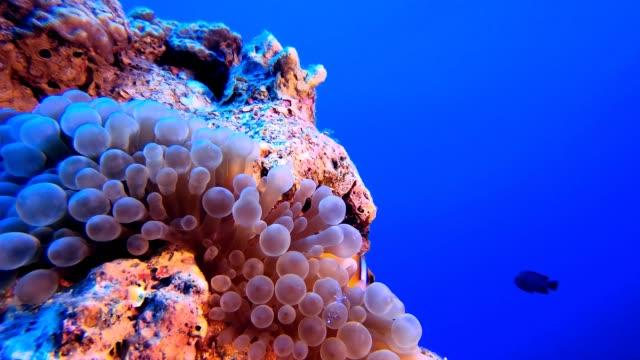 vídeos y material grabado en eventos de stock de tropical blue water clownfish - escafandra autónoma
