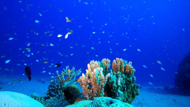 Tropical Blue Water Colorful Fishes Tropical fish reef marine. Soft-hard corals seascape. Vibrant coral garden. Reef coral scene. Beautiful soft coral. Sea coral reef. Soft coral broccoli. Coral scene aquatic organism stock videos & royalty-free footage