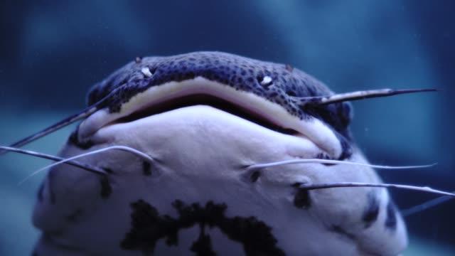 tropical catfish or phractocephalus hemioliopterus in blue water of aquarium - siluriformes video stock e b–roll