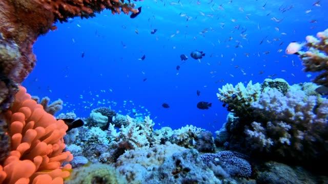 vídeos y material grabado en eventos de stock de anémona roja de pez payaso tropical - escafandra autónoma