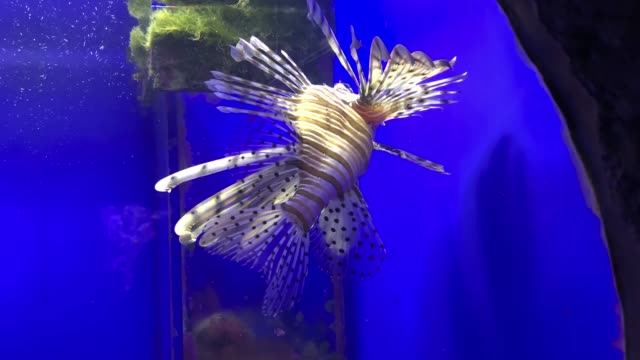Tropical colorful coral reef fish white lionfish, Pterois volitans swimming in blue water of sea aquarium