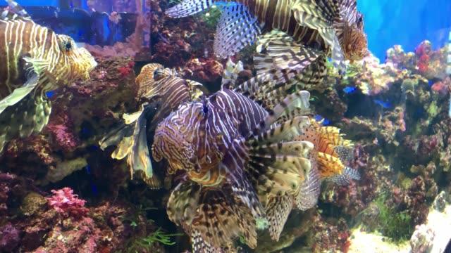 Tropical colorful coral reef fish white lionfish, Pterois volitans swimming in sea aquarium close up