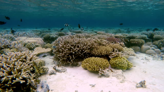 Tropical coral garden on Maldives Tropical coral reef on Maldives (South Ari Atoll). ocean floor stock videos & royalty-free footage